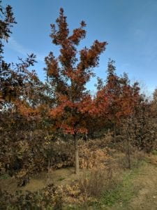 Red Oak Trees for Sale in Longmont, CO